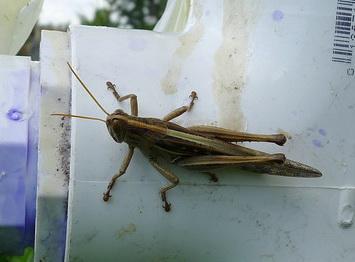 lubber_grasshopper